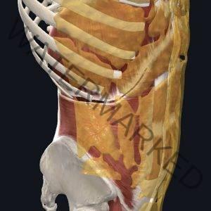 hi-def male anatomy course