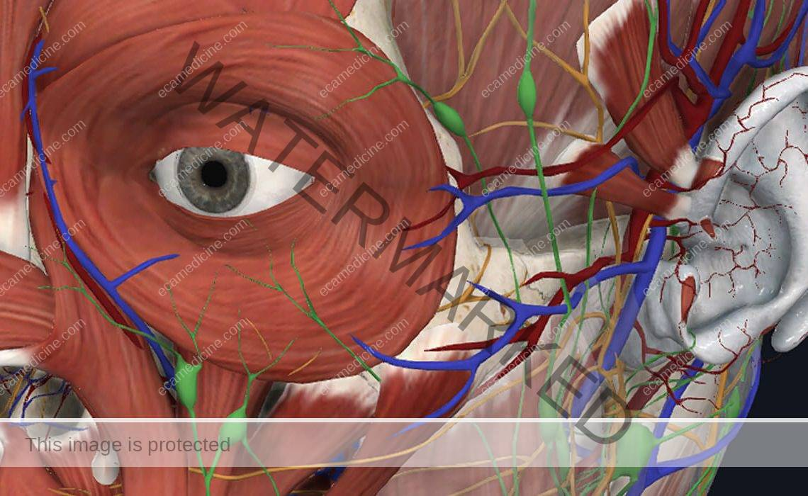 Eyelid and Periorbital Anatomy online course